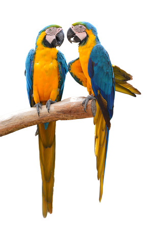 Couple of blue and gold macaw parrots isolated on withe background Foto de archivo