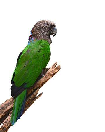 frendly: Beautiful Hawk-headed Parrot (Deroptyus accipitrinus) on white background Stock Photo