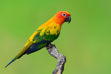 Beautiful Sun Conure bird isolated on green background.