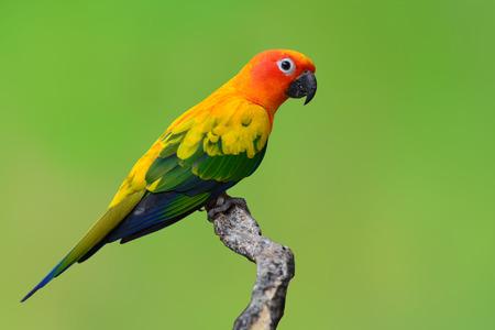 Beautiful Sun Conure bird isolated on green background.
