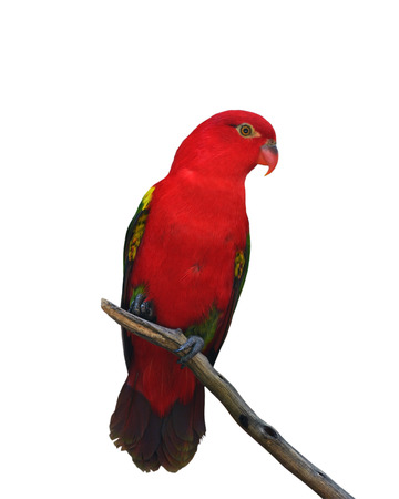Beautiful Red parrot isolated on white background