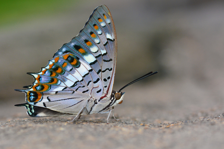 rajah: Beautiful butterfly Black Rajah, Charaxes solon on nature Stock Photo