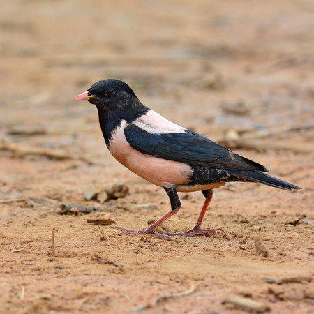 rosy: Beautiful rose bird, Rosy Starling (Pastor roseus) on the ground.