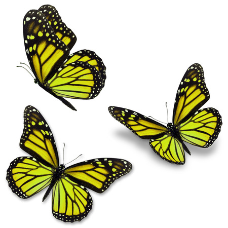 Three yellow monarch butterfly, isolated on white background