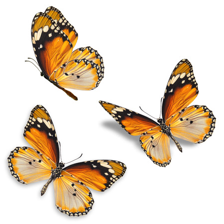 Three orange butterfly isolated on white background 스톡 콘텐츠