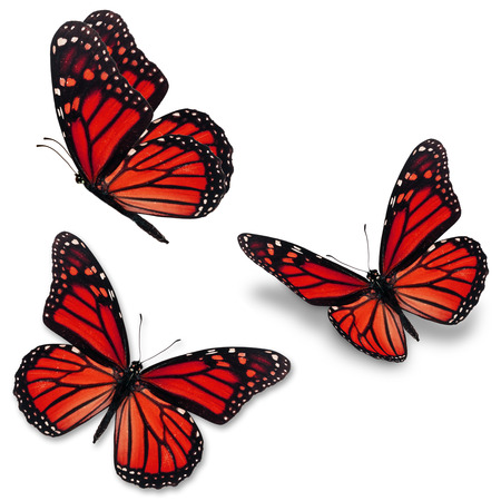 north american butterflies: Three red monarch butterfly, isolated on white background