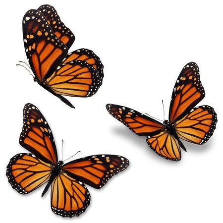 mariposas amarillas: Tres mariposa monarca, aislado en fondo blanco Foto de archivo