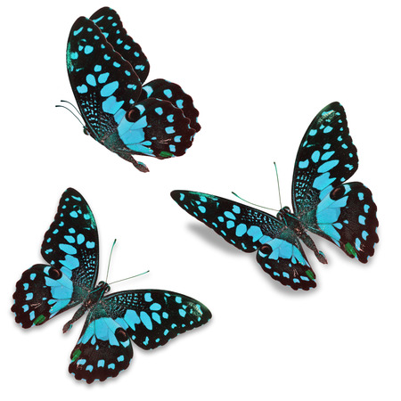 north american butterflies: Beautiful Three blue butterfly, isolated on white background Stock Photo
