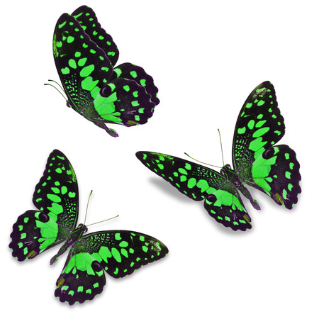 north american butterflies: Beautiful Three green butterfly, isolated on white background Stock Photo
