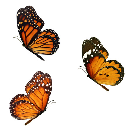 Beautiful three monarch butterfly flying isolated on white background