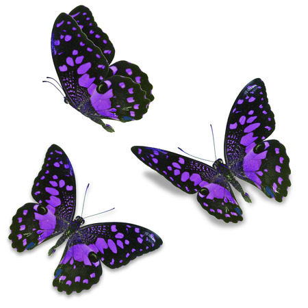 north american butterflies: Beautiful Three purple butterfly, isolated on white background
