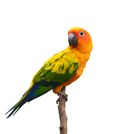 green parrot: Beautiful Sun Conure bird perching on a branch isolated on white background.