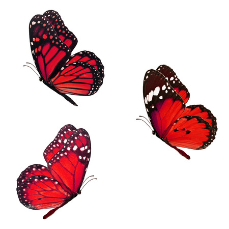 Beautiful three red monarch butterfly flying isolated on white background Stock Photo