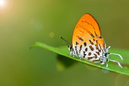 posy: Beautiful butterfly (Common posy, Drupadia ravindra) standing on green leaf Stock Photo