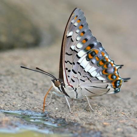 rajah: Beautiful butterfly (Black Rajah, Charaxes solon) on nature Foto de archivo