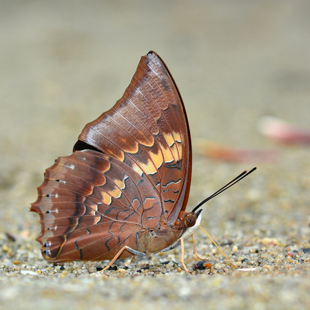 rajah: Beautiful butterfly (Tawny Rajah, Charaxes bernardus) on nature Foto de archivo