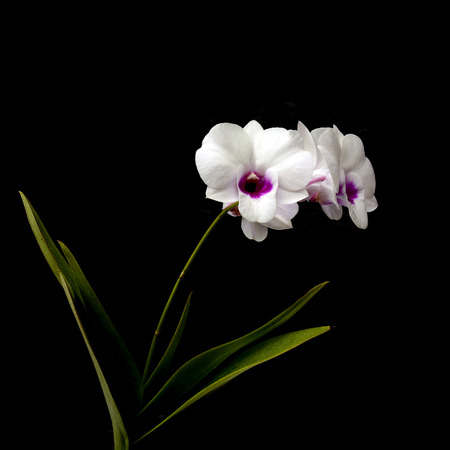 centers: beautiful white Dendrobium orchid with dark purple centers; isolated on black background. Stock Photo