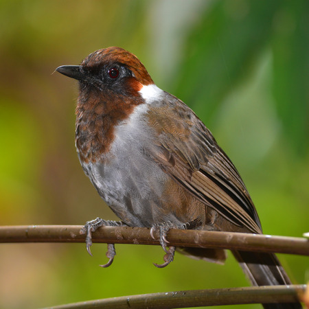 laughingthrush: Closeup of white-necked laughingthrush (Garrulax strepitans) standing on a branch