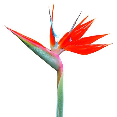 bloom bird of paradise: Bird of Paradise Flower isolated on white background