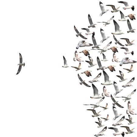 Un groupe d'oiseaux en vol de mouette avec un oiseau individuelle aller dans le fond blanc de la direction opposée. Banque d'images - 44867085