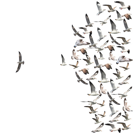 a group of flying seagull birds with one individual bird going in the opposite direction white background.