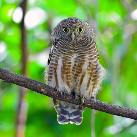 animal related: Asian Barred Owlet (Glaucidium cuculoides) is a species of true owl. Stock Photo