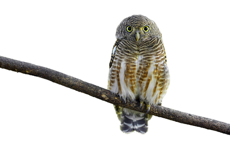 progesterone: Asian Barred Owlet (Glaucidium cuculoides) on white background