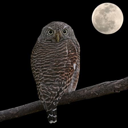 owlet: Asian Barred Owlet (Glaucidium cuculoides) and the moon on black background