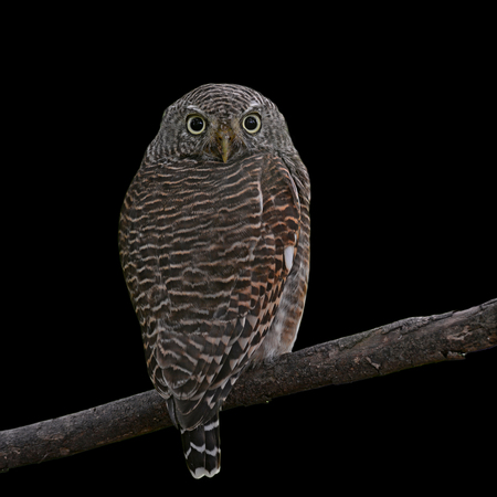 animal related: Asian Barred Owlet (Glaucidium cuculoides) on black background Stock Photo