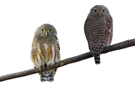 progesterone: Couple of Asian Barred Owlet (Glaucidium cuculoides) on white background Stock Photo