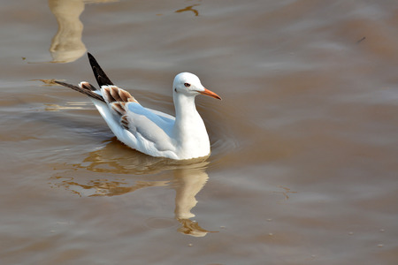 juveniles: Slender-billed Gull (Chroicocephalus genei) bird is Swimming Stock Photo