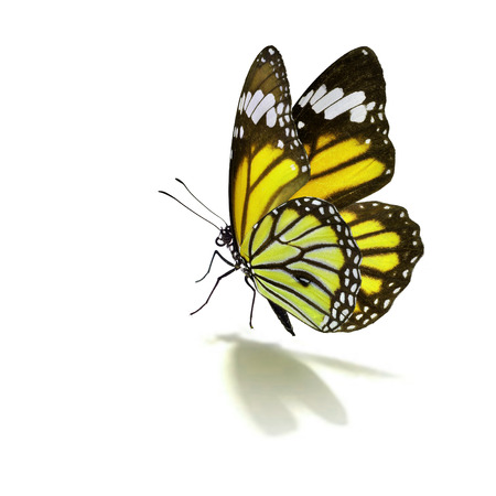 isolated on yellow: Beautiful yellow monarch butterfly isolated on white background