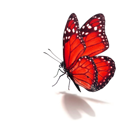 Beautiful red monarch butterfly isolated on white background