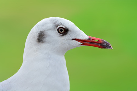 geen: Closeup head of white bird seagull on geen background