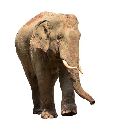 elefant: Elefante de Asia aislado sobre fondo blanco Foto de archivo