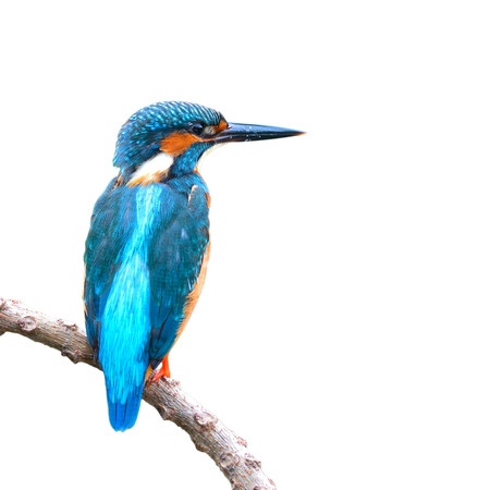 alcedo: Beautiful bird a male Common Kingfisher (Alcedo atthis) isolated on white background.