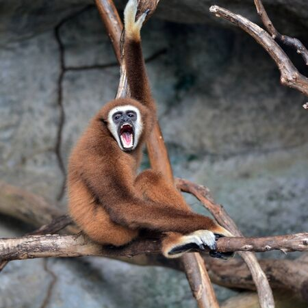 hominid: Brown Gibbon standing on a branch Stock Photo