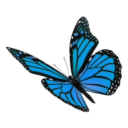 Beautiful blue monarch butterfly flying isolated on white background