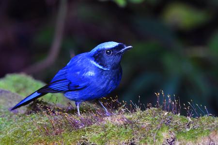 Colorful blue bird, male Large Niltava (Niltava grandis), bird or Thailand Imagens