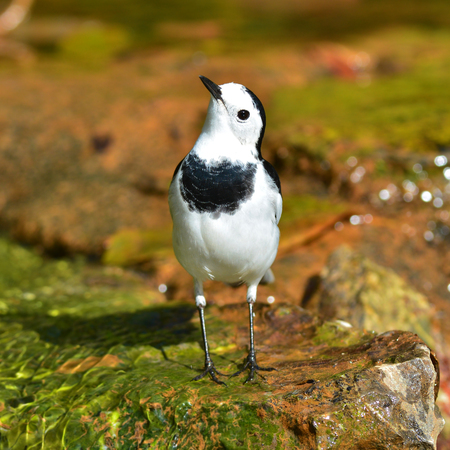 white wagtail: Beautiful black and white bird, male of White Wagtail (Motacilla alba) standing on rock, bird or Thailand