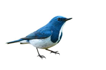 ultramarine blue: Beautiful colorful bird (Ultramarine flycatcher) on white background