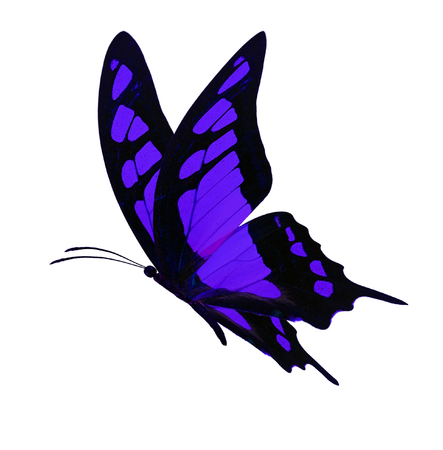 Beautiful black and purple butterfly flying isolated on white background