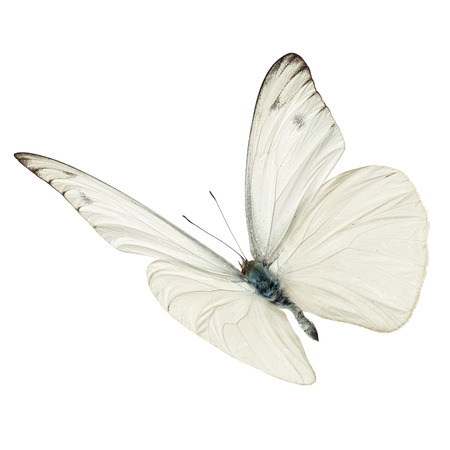Beautiful white butterfy flying isolated on white background