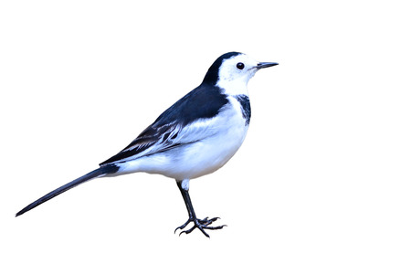 motacilla: Beautiful black and white bird, male of White Wagtail (Motacilla alba) on white backgrond Stock Photo