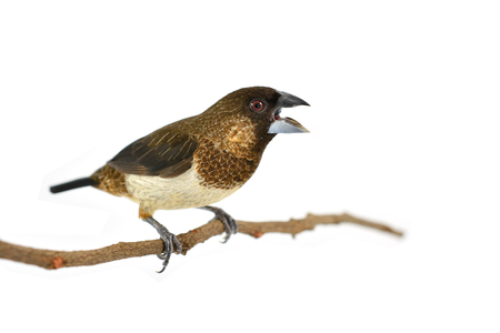 perching: A Beautiful bird, White-rumped Munia (Lonchura striata) perching on a branch isolated on white background Stock Photo