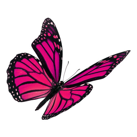 Beautiful pink monarch butterfly flying isolated on white background