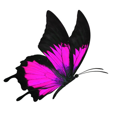 mariposas volando: Hermosa butterfy negro y rosa del vuelo aislado en el fondo blanco