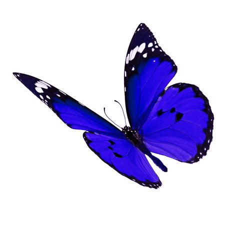 north american butterflies: Beautiful blue monarch butterfly flying isolated on white background
