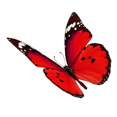 north american butterflies: Beautiful red monarch butterfly flying isolated on white background