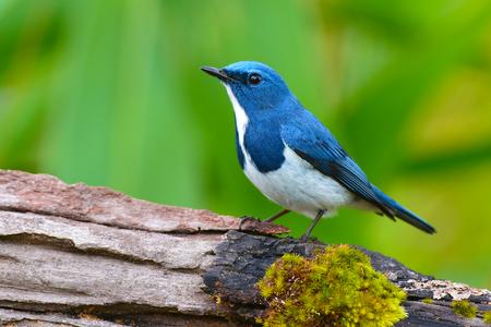 ultramarine: Beautiful colorful bird (Ultramarine flycatcher) standing on log
